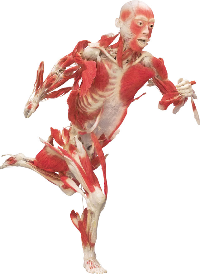 SkeletalMuscles