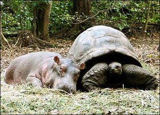 Hippo_turtle_3
