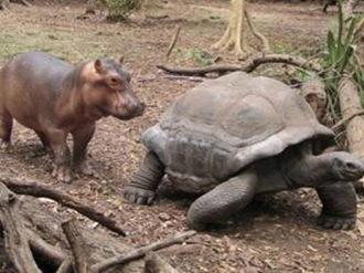Hippo_turtle_7