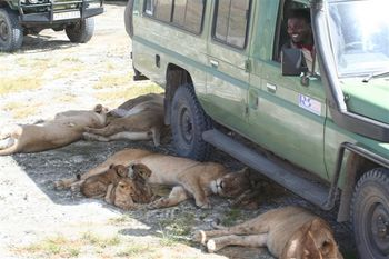 Lions_under_jeep